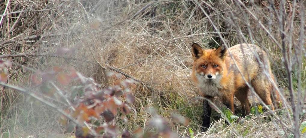 Η κόκκινη αλεπού